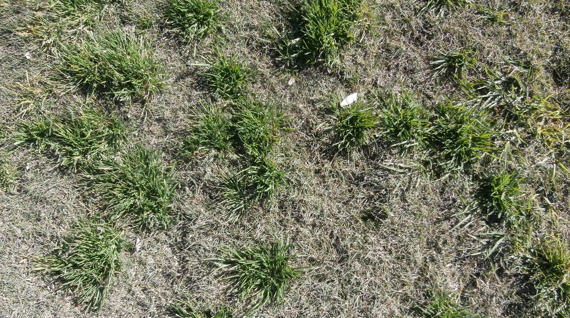 Poa competing leading to poor surface