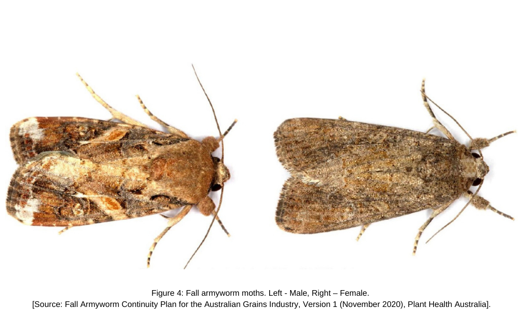 Fall armyworm moths. Left - Male, Right – Female