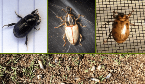 Know Your Grubs