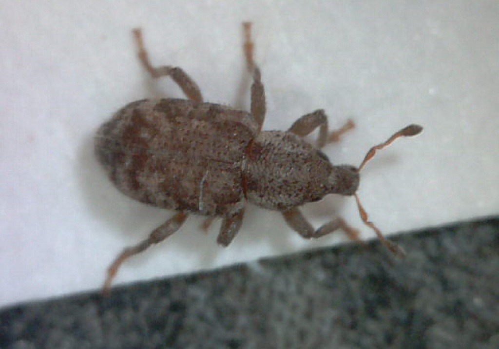 Argentine Stem Weevil from above