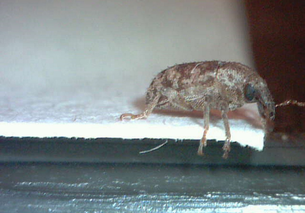 Argentine Stem Weevil from the side