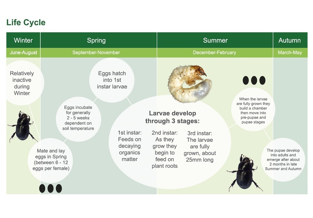 Black Beetle Life Cycle