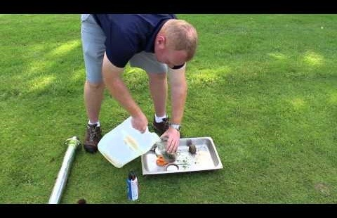 Weevil Larvae: Monitoring and Scouting using a Salt Flush